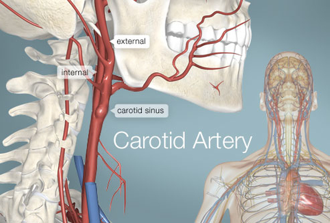 carotid_artery